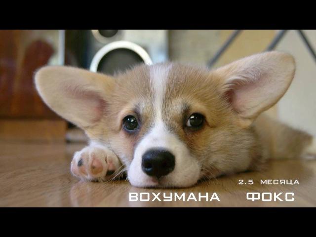 Вельш Корги Пемброк Маленькая овчарка Умная собака HD PEMBROKE WELSH CORGI
