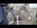 Афганский волкодав САО