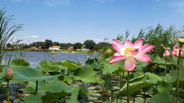Житель Калмыкии вырастил на сельской реке лотосовую плантацию