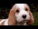 Малый вандейский бассет гриффон. Веселая,дружелюбная собака. Хороший компаньон ...