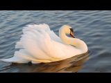 Camille Saint Saens  The Swan 3