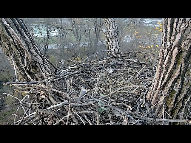 Decorah N2B 16/11/3 07:53 Tufted Titmouse nest visitor