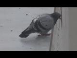 голубь самоубийца (WEBM Тред Двач)