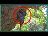 Горностай охотится на птенцов дятла (Stoat Kills Four Baby Woodpeckers  Earth Unplugged)