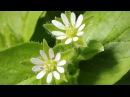 Мокрица. Что это - сорняк или лекарство?