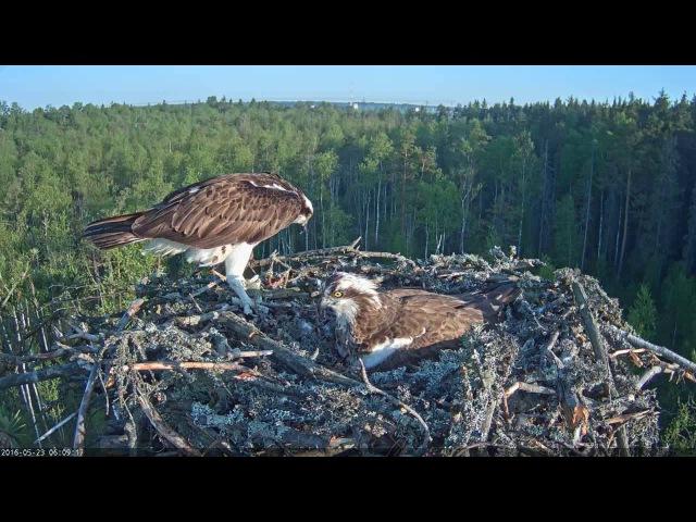 23/05/2016 06:02 LK-kalakotkas Mai and Osprey stranger (female?)