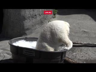 Медведица Нора любит принимать ванну со льдом