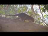 Orphaned_Ringtail_Possum_Gaz_Plays_With_Zookeeper_Jarrod