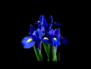 Time-Lapse_ Watch Flowers Bloom Before Your Eyes _ Short Film Showcase - YouTube (360p)