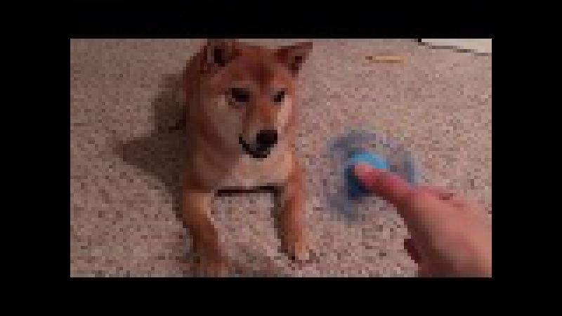 Shibe doesn't like fidget spinner (subtitles)