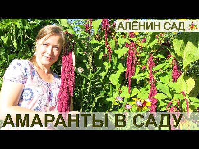 ВСЁ о выращивании АМАРАНТА От посева до сбора урожая