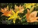 ЛИЛИЯ ВОСТОЧНАЯ ГИБРИДЫ ОТ Выращивание уход посадка полив болезни цветение