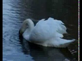 Галина Ненашева Лебеди белые