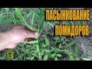 Пасынкование помидоров томатов. В конце Лайфхак. Сад огород и теплица теплица...