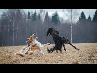 Русская псовая борзая, все породы собак, 101 dogs. Введение в собаковедение.
