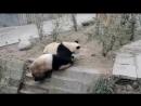 Интернет-пользователей покорила битва настоящих кунг-фу панд видео