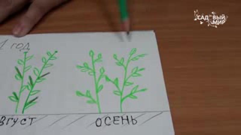 Как повысить урожай малины Двойная обрезка малины. Сайт Садовый мир