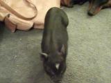Parkour pig