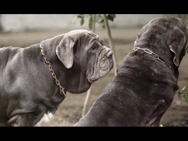 Мастино неаполитано. Планета собак спешит на помощь 🌏 Моя Планета