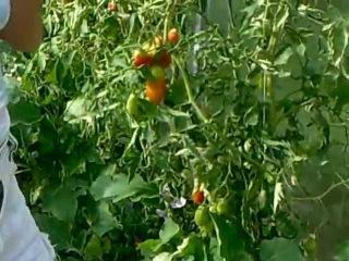 помидоры выращивание в теплице из поликарбоната