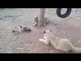 Щенок наводит порядок в вольере со львами
