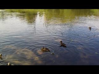 Утки в Торжке