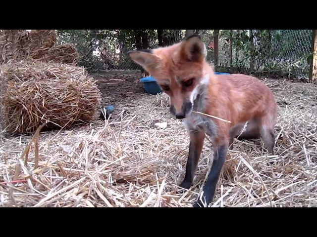 Fox in the Straw pet fox RonRon Pounces