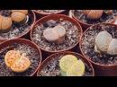 Размножение литопсов в домашних условиях