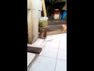 Драка крыс в Таиланде, а кот не при делах))