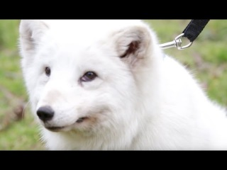 Песец Арчер. / Archer the arctic fox