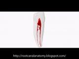 Mandibular First Premolar (Two Root Canals)- Prof. Marco Versiani. Анатомия зубов