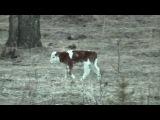 Коровы, телята. Смешно и весело.