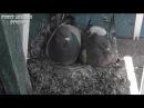 Голуби - Голубь-отец прогнал старшего птенца - Голубиная сага - 8 серия