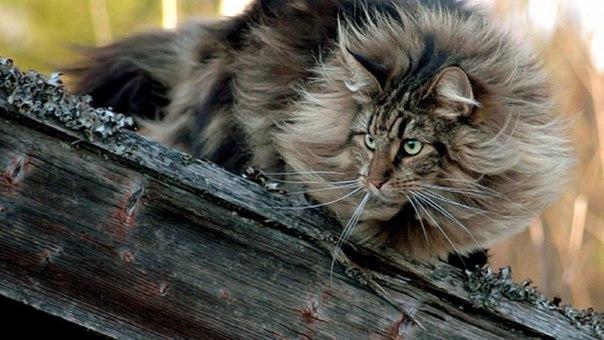 Кошки в быту викингов