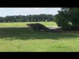 Еще раз о гигантском аллигаторе