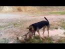 Собачьи бои 18 Питбуль vs Овчарка