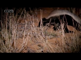Самое агрессивное животное планеты - Медоед (6 sec)