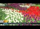 На Співочому полі столиці розцвіли двісті п'ятдесят тисяч тюльпанів