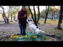 Ошибки в обучении собаки команды сидеть ждать Видео урок по дрессировке!