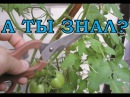 Листва у томатов - УДАЛЯТЬ или НЕТ Все о пасынковании овощей