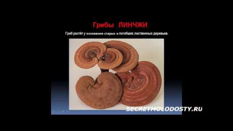 Секрет бессмертия Высшие грибы Линчжи