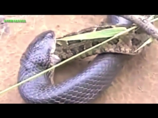 Животные разборки. Змея против змеи, змея против летучей мыши...