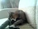 Ну очень злой кот - битва с хвостом - Злой котикприколы с животными прикол, ржака, 100500, страх, жесть, вдв, драка, фильм, се