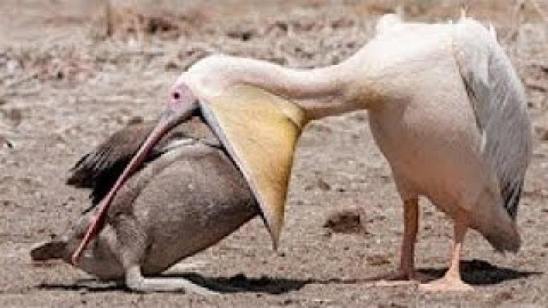 Птицы едят все кролики, змеи, утки, рыбы, мыши, голуби