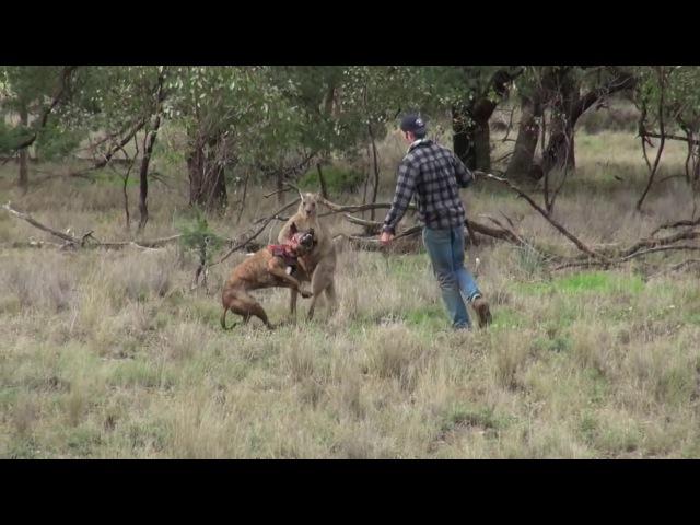Мужчина спас собаку от кенгуру вступив в кулачный бой