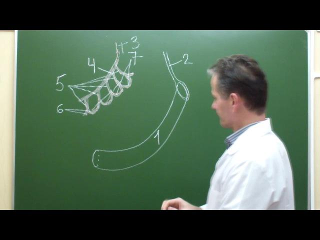 Схема кровоснабжения брыжеечной части тонкой кишки