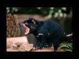 the voice of the Tasmanian devil, голос тасманского дьявола,