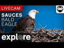 Sauces Bald Eagle - Channel Islands National Park Cams powered by