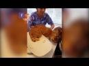 Рыжий кот, спасающий свою подругу от ветеринара