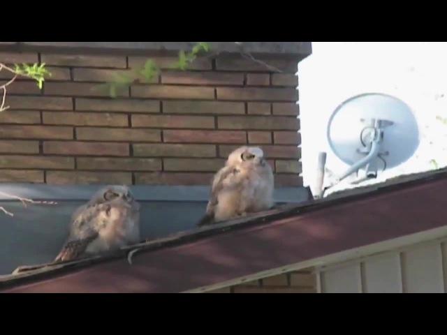 Asshole Owl